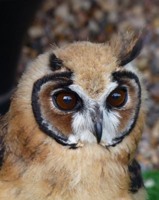 6815011-Peruvian_Striped_Owl_Falstone.jpg
