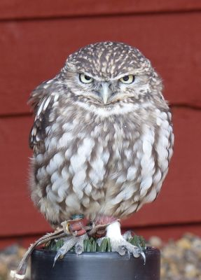6815012-Little_Owl_Falstone.jpg
