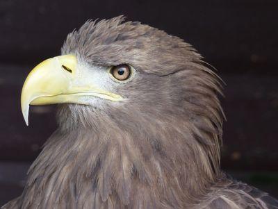6815047-Peregrine_falcon_Falstone.jpg