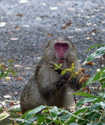 6877295-Bedraggled_Macaque_Japan.jpg