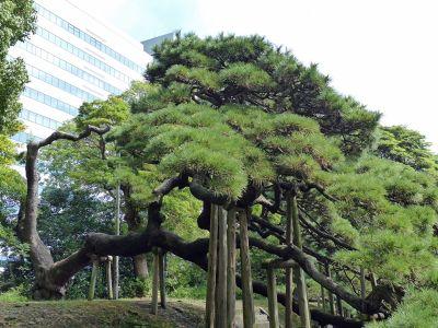 6888278-300_year_old_pine_Tokyo.jpg