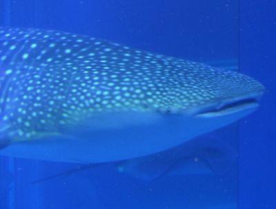 6900480-Whale_shark_Osaka.jpg