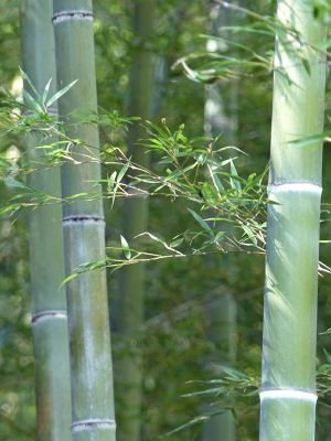 6916353-The_Bamboo_Grove_of_Arashiyama_Kyoto.jpg