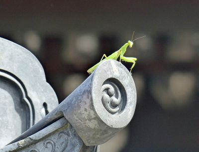 6917247-Preying_mantis_Kyoto.jpg