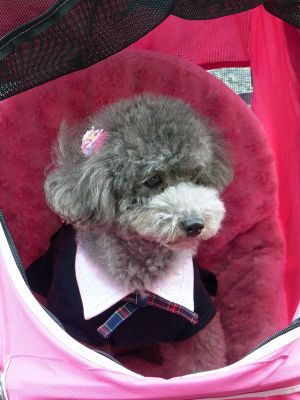 6927658-Japans_best_dressed_dogs_Takayama.jpg