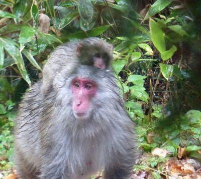 6927718-Red_faced_macaque_Kamikochi_Takayama.jpg