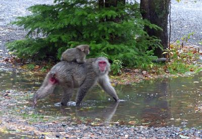 6932359-The_macaques_of_Kamikochi_Kamikochi.jpg
