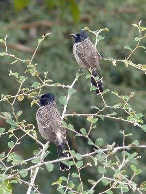 7548629-Bulbuls_Ranthambore_National_Park.jpg
