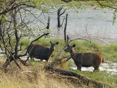 7548641-Sambar_deer_Ranthambore_National_Park.jpg