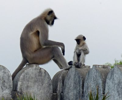 7552108-Monkeys_at_Narlai_Narlai.jpg
