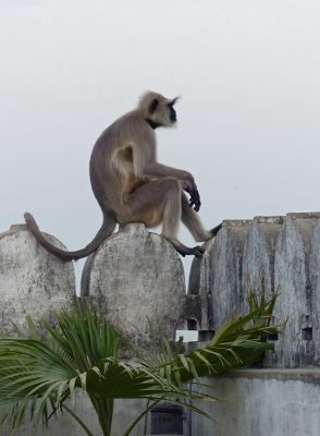 7552111-Monkeys_at_Narlai_Narlai.jpg