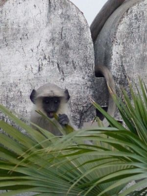 7552112-Monkeys_at_Narlai_Narlai.jpg