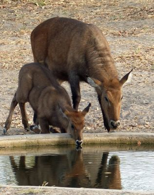 7575383-Waterbuck_mother_and_baby_Same.jpg