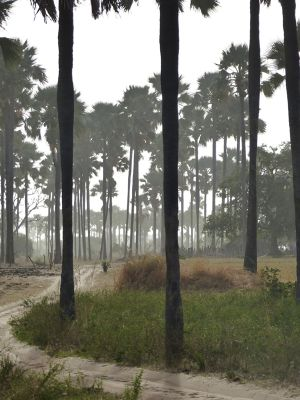 7580191-Yayeme_palm_forest_Fimela.jpg