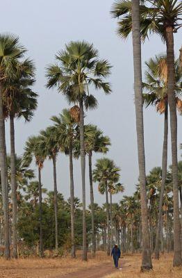 7580192-Yayeme_palm_forest_Fimela.jpg