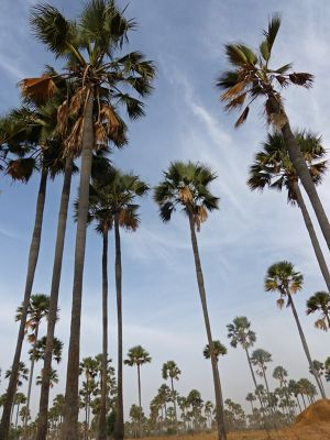 7580193-Yayeme_palm_forest_Fimela.jpg