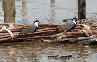 7580249-Spur_winged_Lapwings_Fimela.jpg