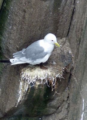 7670486-Kittiwake_Farne_Islands.jpg