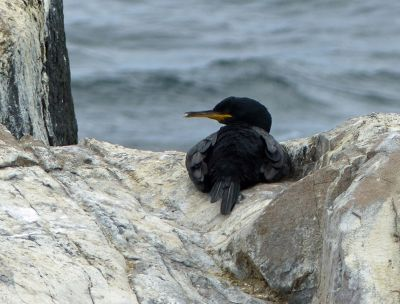 7670513-Shag_on_Inner_Farne_Farne_Islands.jpg