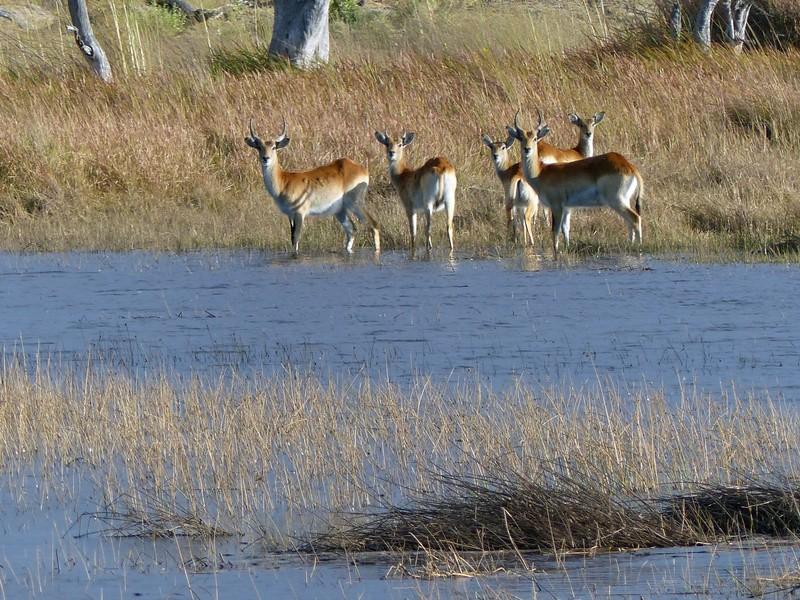 Red lechwe, Sausage Island, Okavango Delta