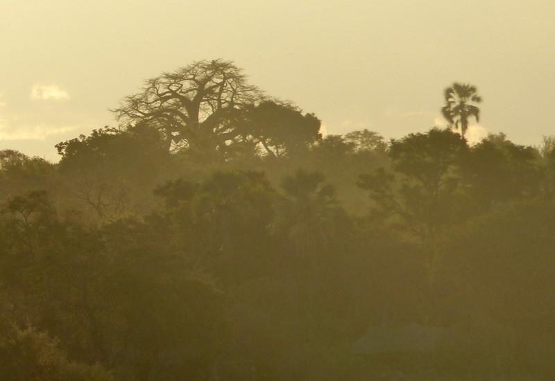 Baobab at sunset, banks of the Zambezi