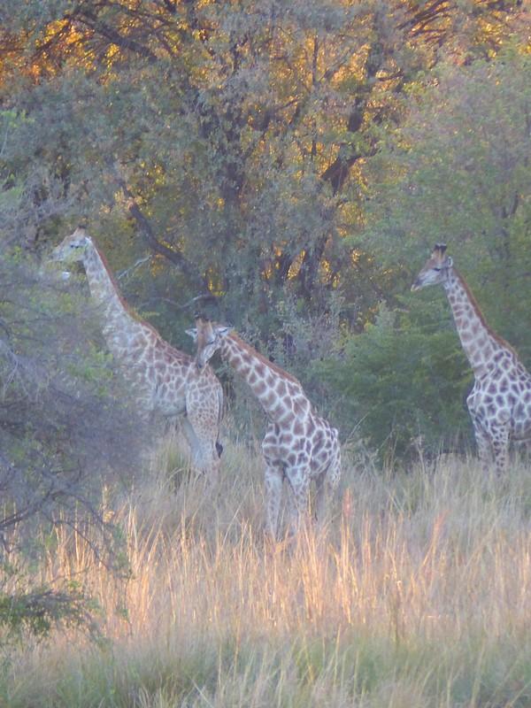 Giraffes at sunset, by the Zambezi