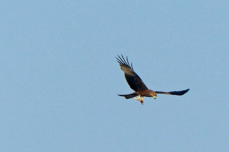 Kite (or eagle?) with fish