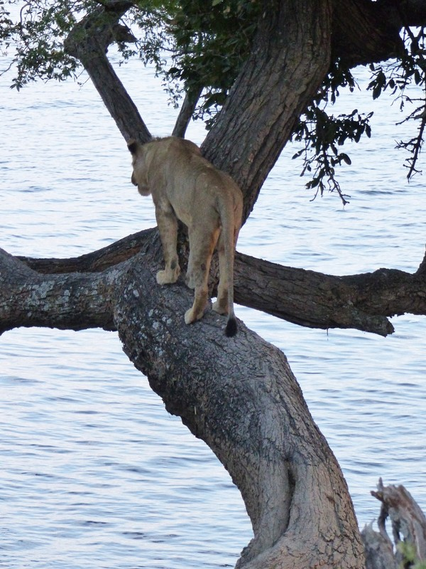 Young lion in a tree, by the Chobe River