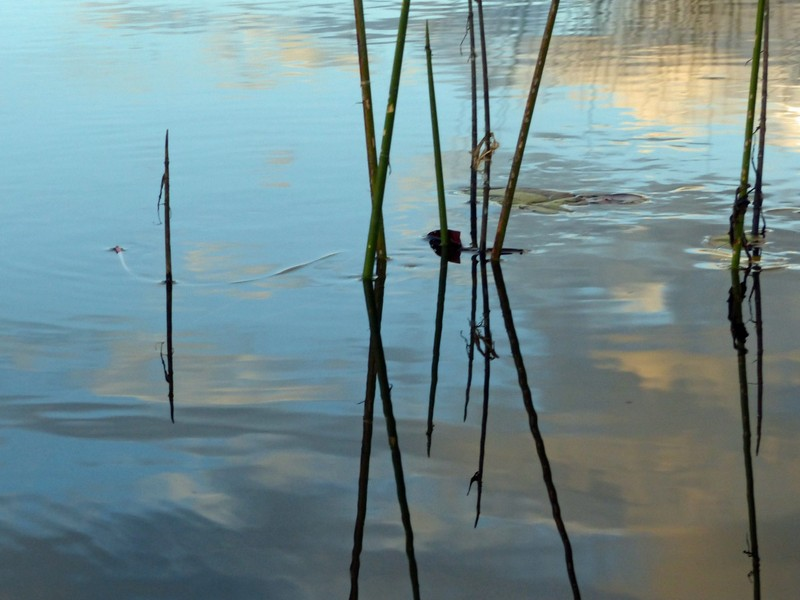Reed reflection, Okavango Delta