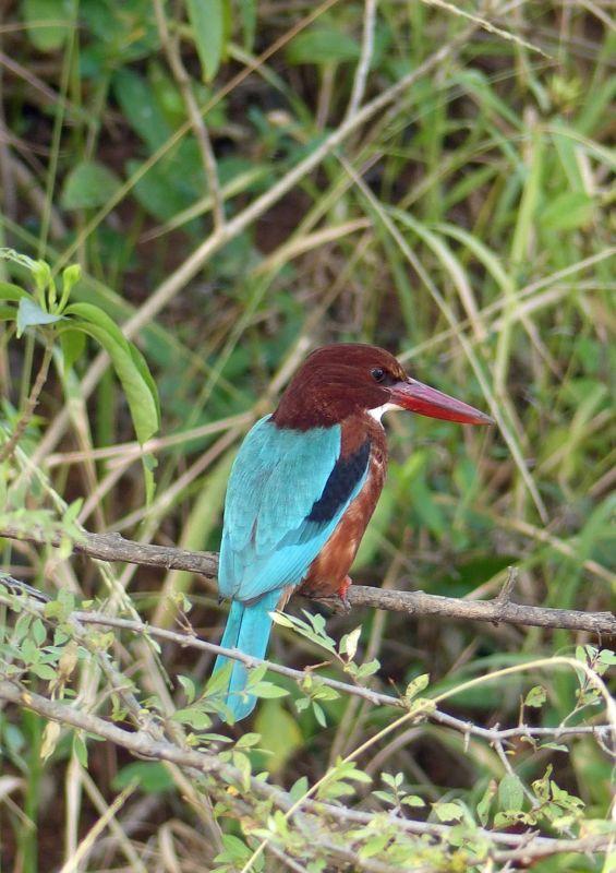 White-throated kingfisher - Ranthambore National Park