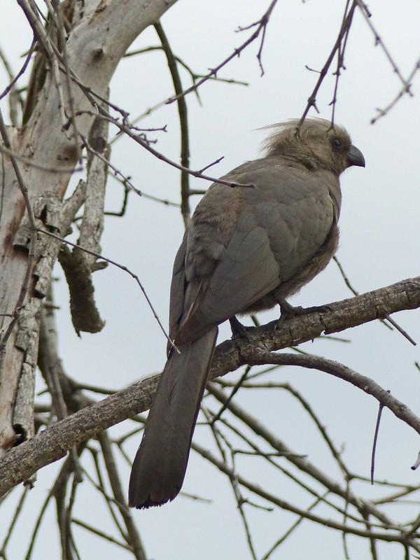 Grey Go-away Bird, Okavango Delta