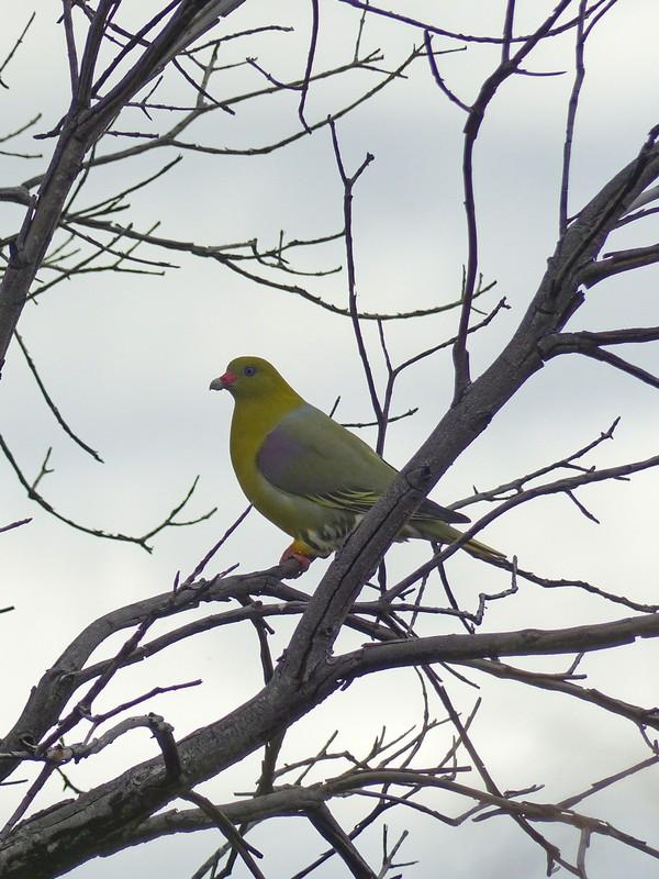 Green Pigeon, Okavango Delta
