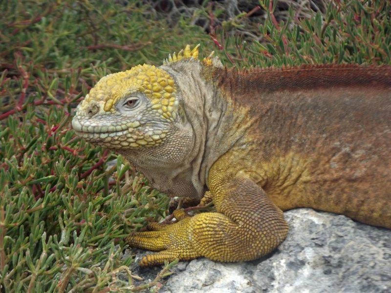 Land iguana on Isla Plaza Sur