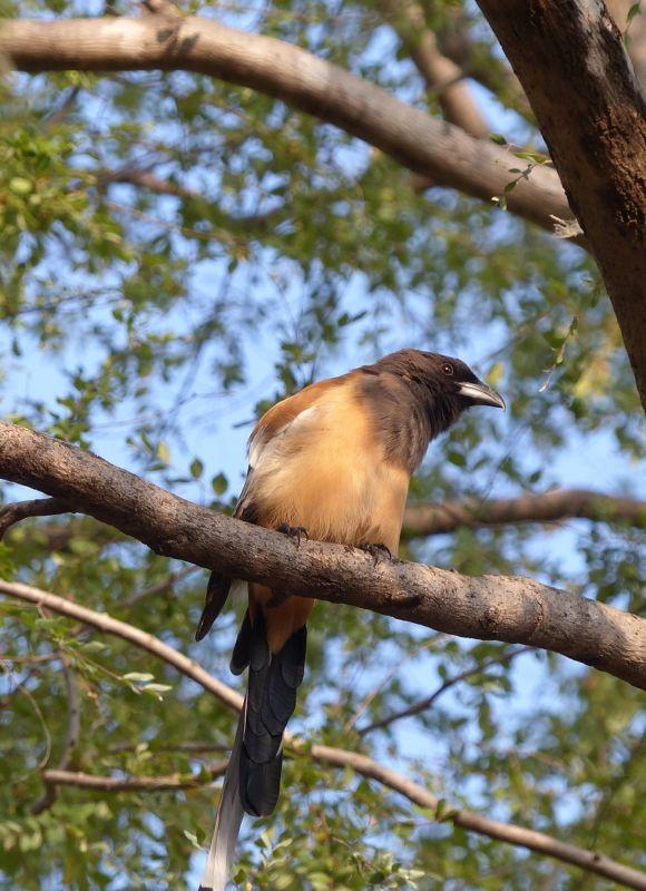 Rufous tree pie - Ranthambore National Park