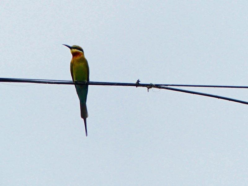 Bea-eater, Kerala backwaters