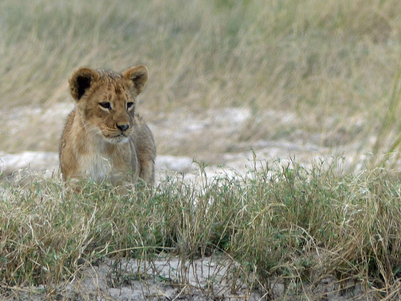 Lion cub, Chobe National Park
