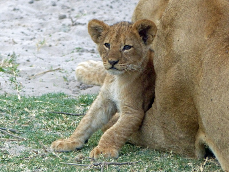 Lion cub and mother, Chobe National Park