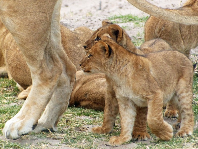 Lion cubs and mother, Chobe National Park