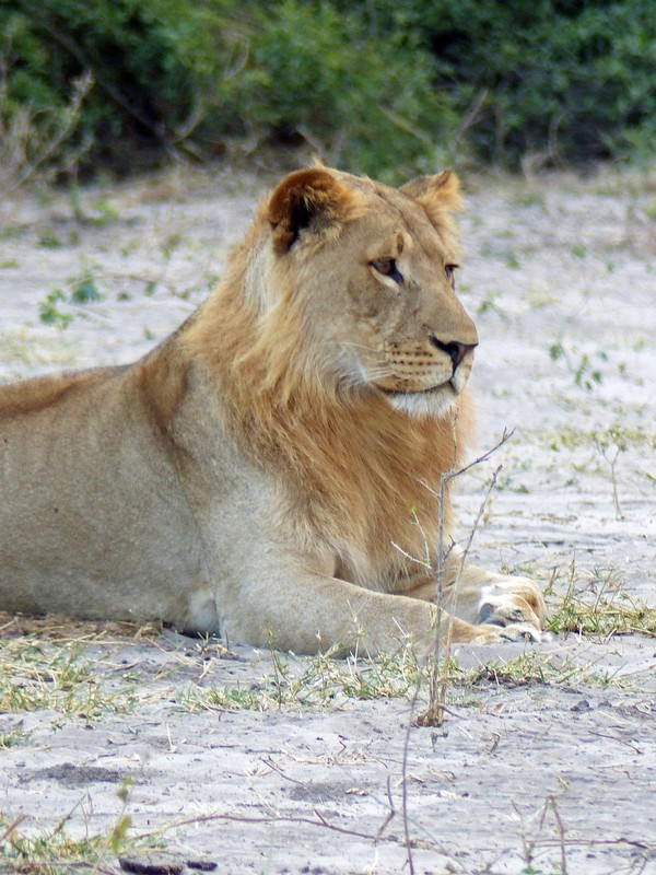 Young male lion, Chobe National Park