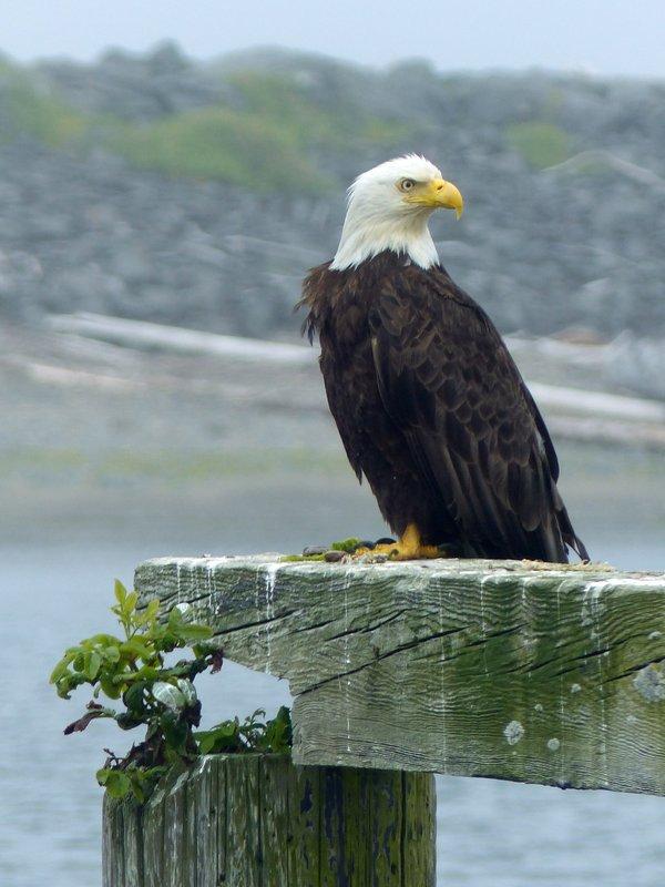 Bald Eagle, La Push