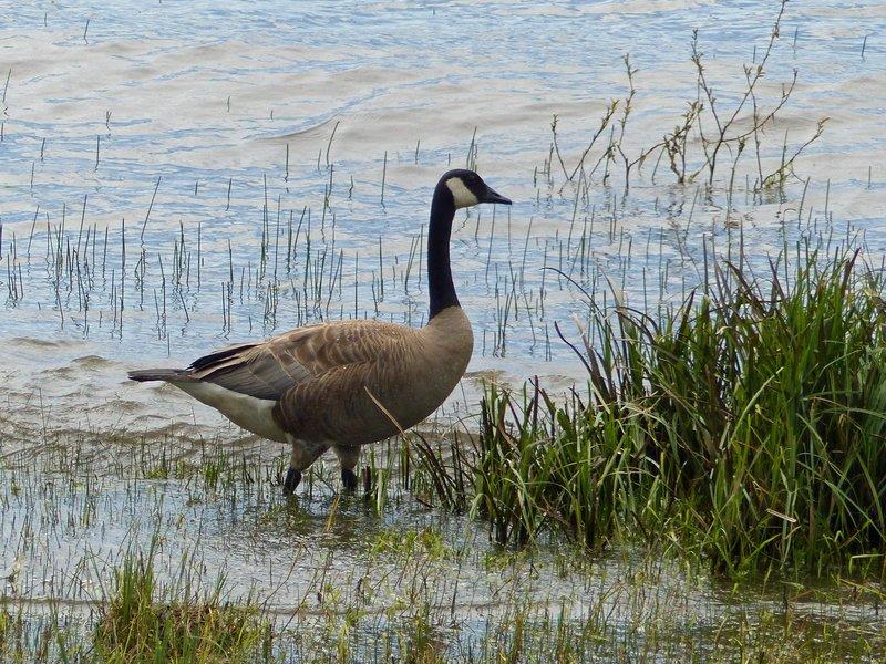 Canada Goose, Lake Quinault