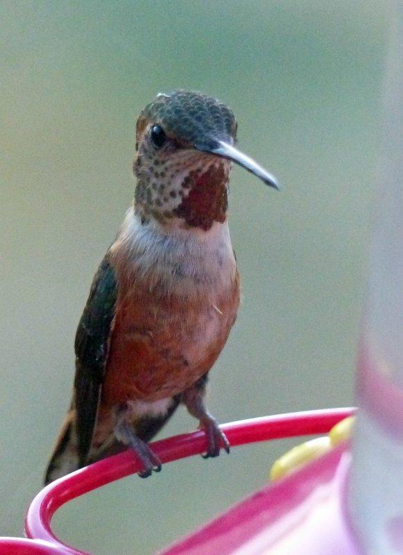 Hummingbird, Lake Quinault