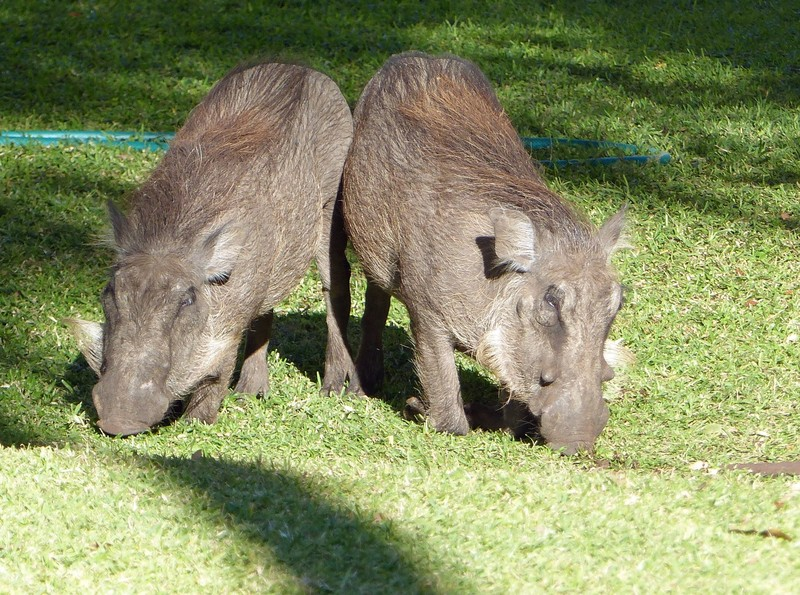 Warthogs at the Victoria Falls Hotel