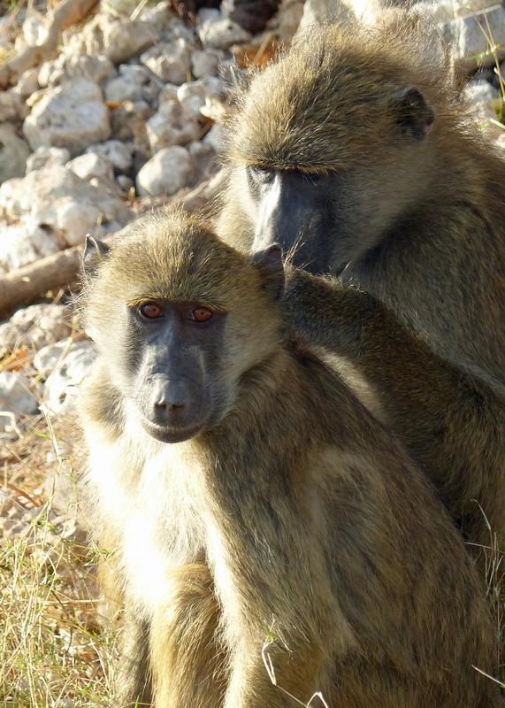 Baboons, Chobe National Park