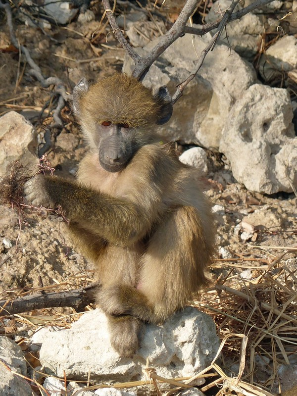 Young baboon, Chobe National Park