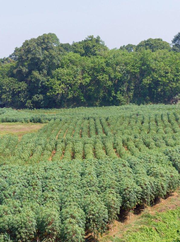 Tapioca plants, Kerala