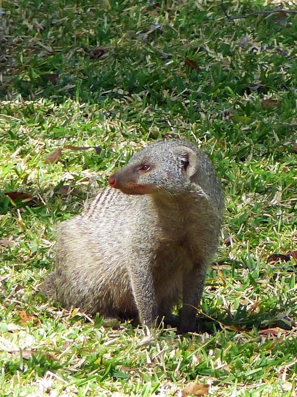 Mongoose on the lawn, Victoria Falls Hotel