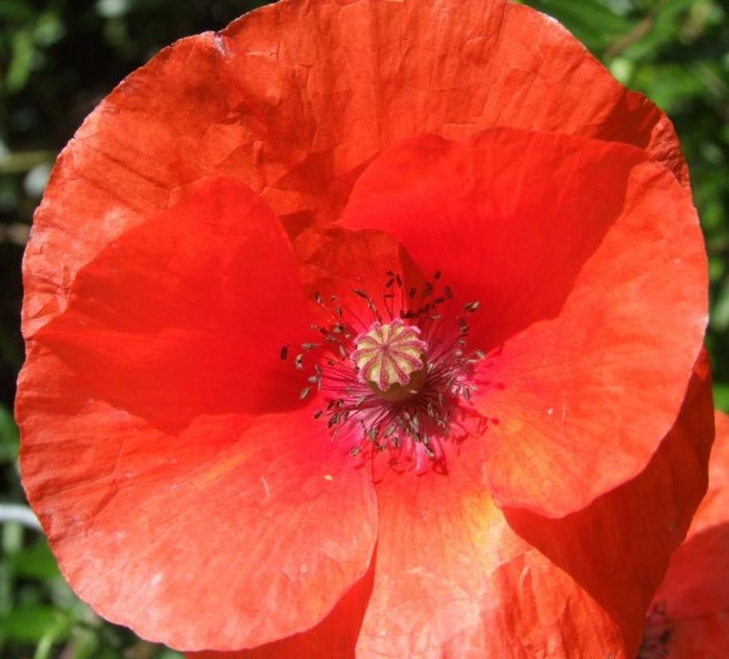 large_423600174132392-Poppy_in_an_..estershire.jpg
