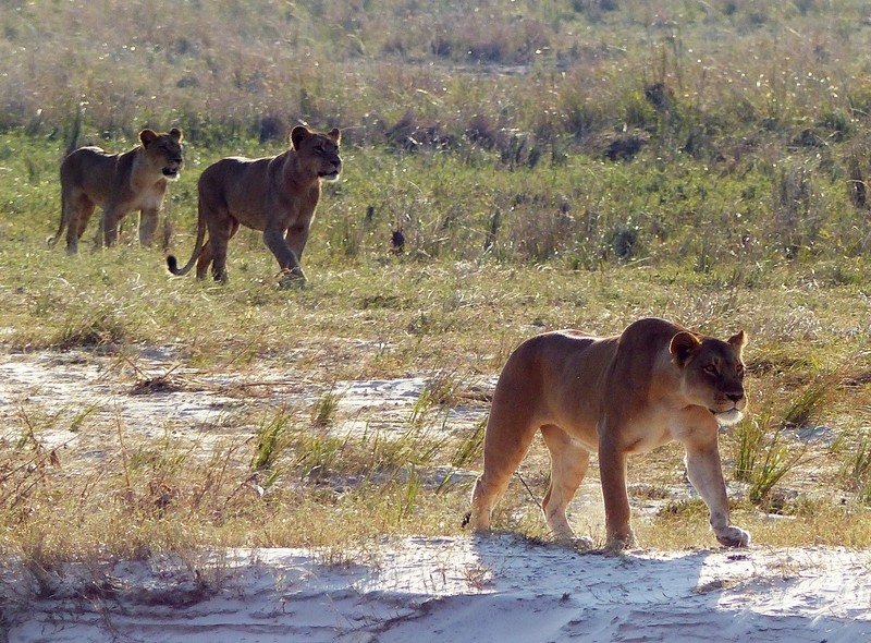 Young lions, Chobe National Park