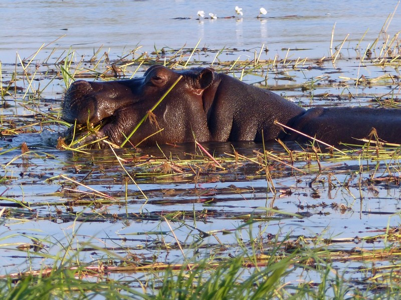 Hippo by the Chobe River